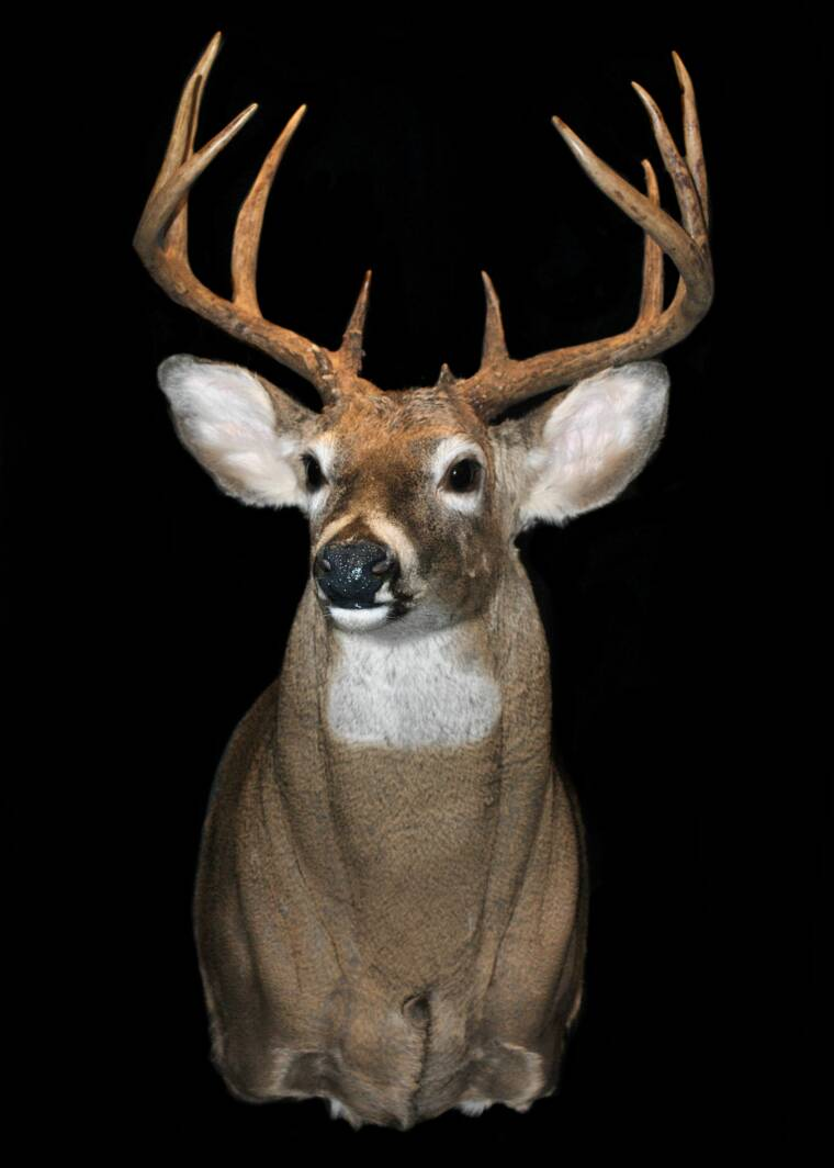 Gallery Whitetail Deer
