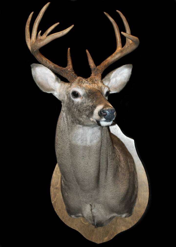 Gallery Whitetail Deer